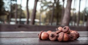 acorn-456205_640
