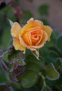 flower-432859_640